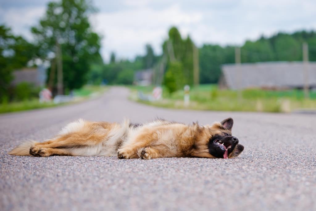 道路に横たわる犬
